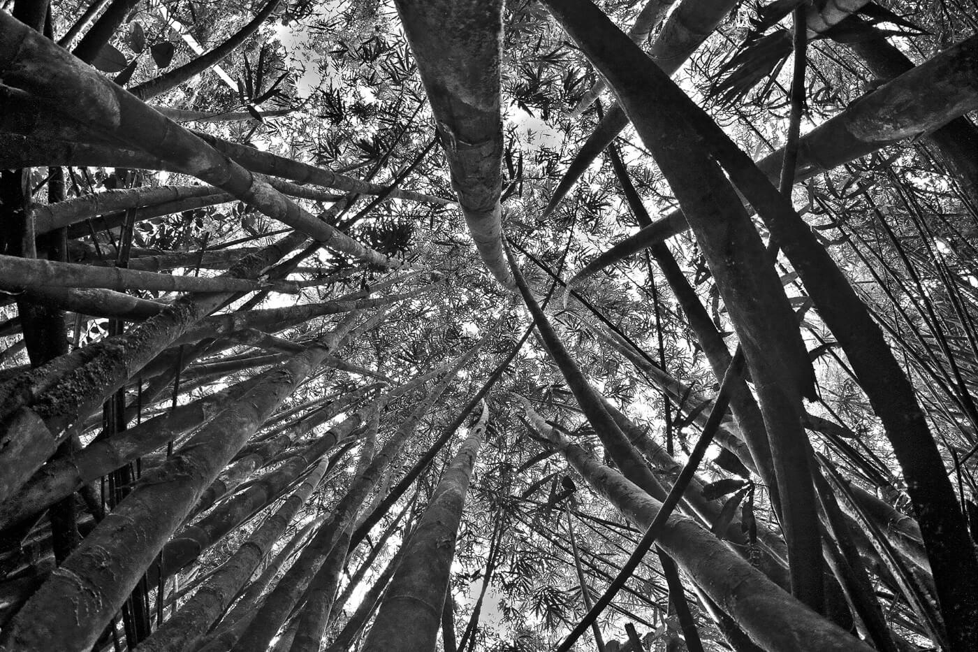 Borneo-Bamboo1400x933 copy 2